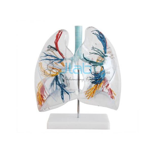 Transparent Lungs Segment Model