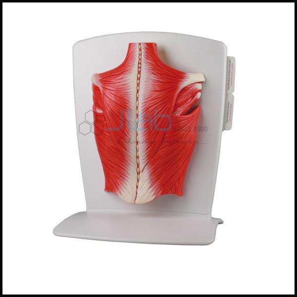 Back Muscle Model Exporter And Manufacturer Back Muscle Model For