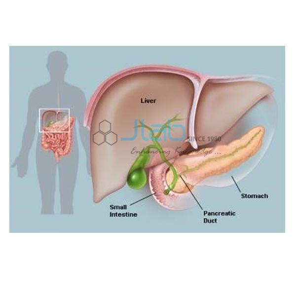 Pancreas Anatomy Model