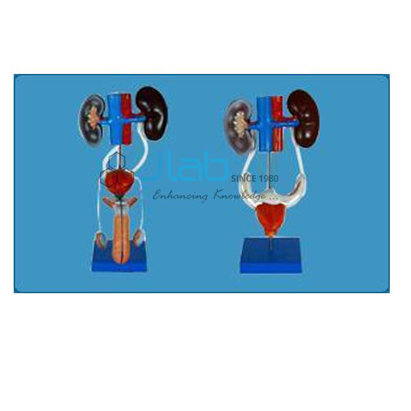 Male/Female Urogenital System