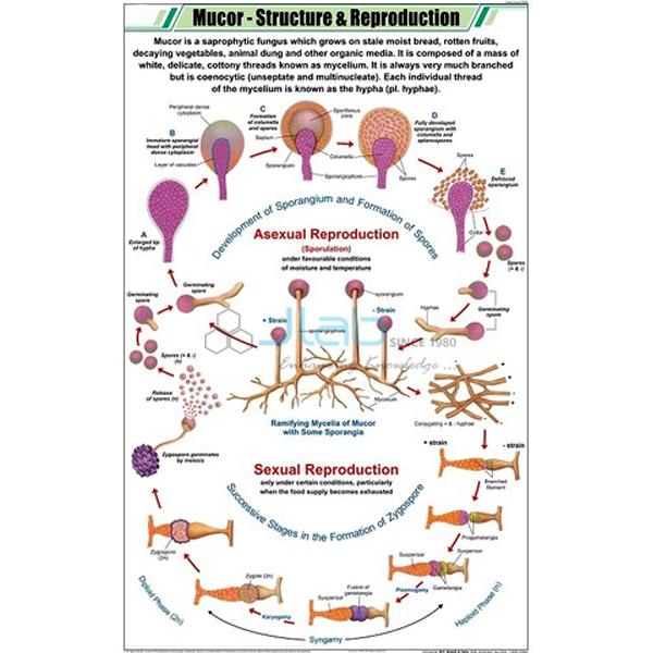 Mucor chart india mucor chart manufacturer mucor chart suppliers mucor chart ccuart Gallery