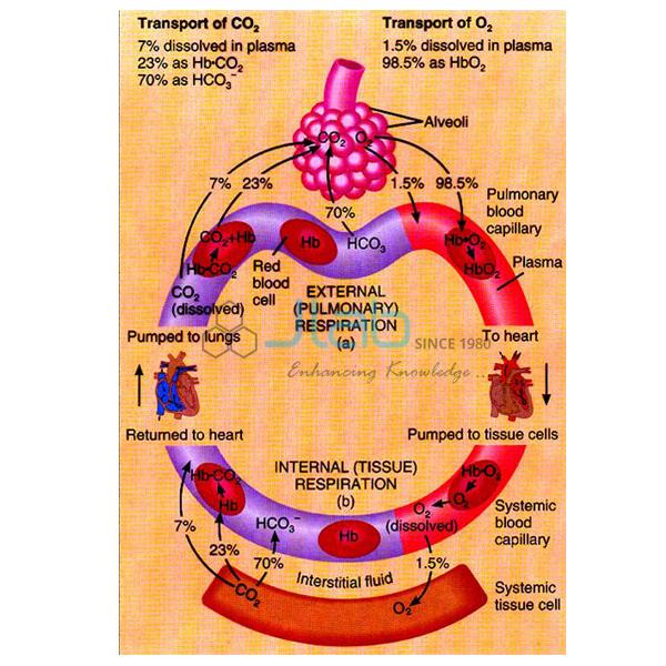 Haemoglobin Model