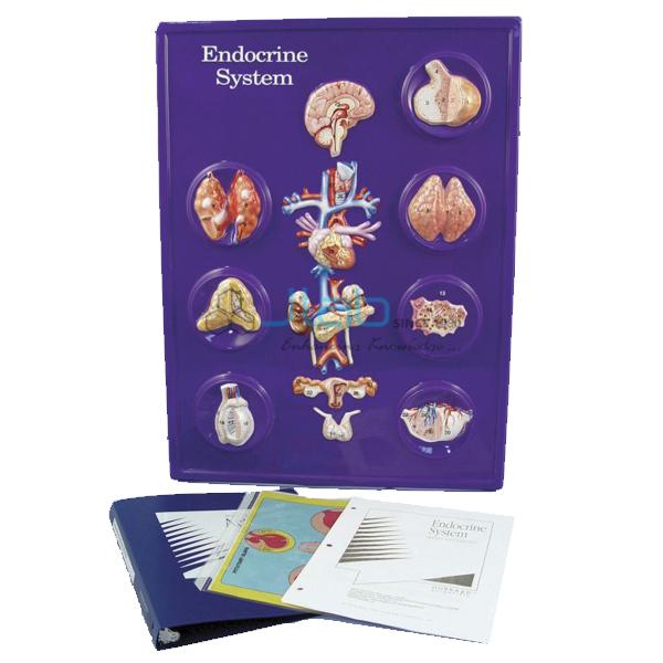 Endocrine System Model