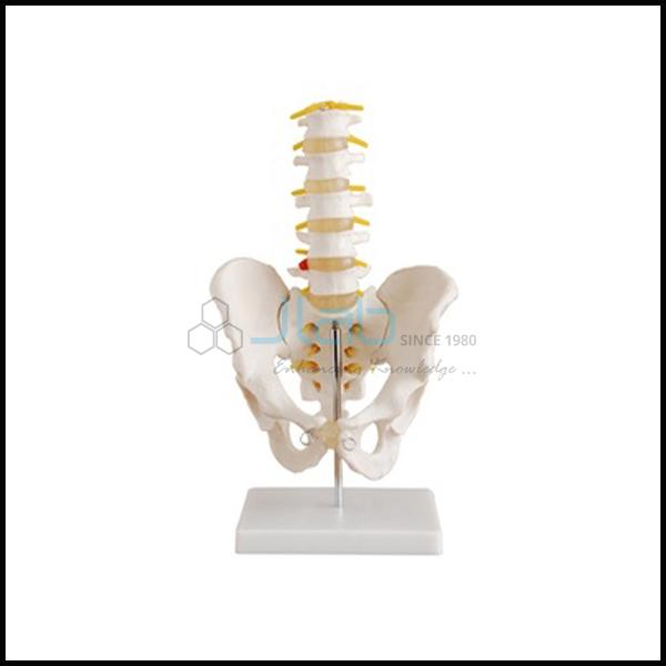 Human Male Pelvis with Lumbar Vertebrae