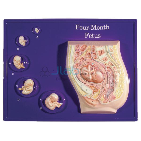 Four Month Fetus Model