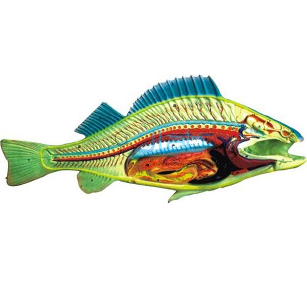 Boney Fish Model
