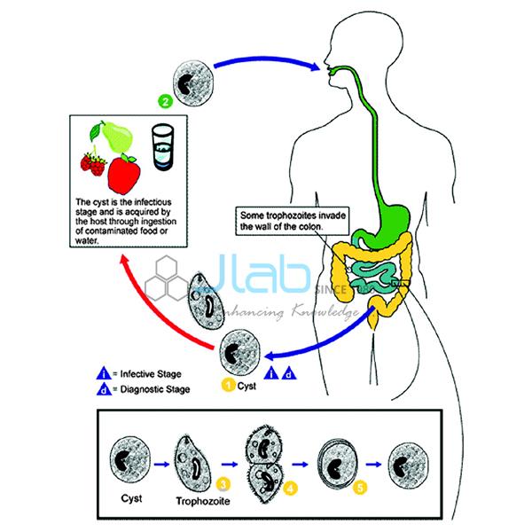 Intestinal Protozoa Infection Model