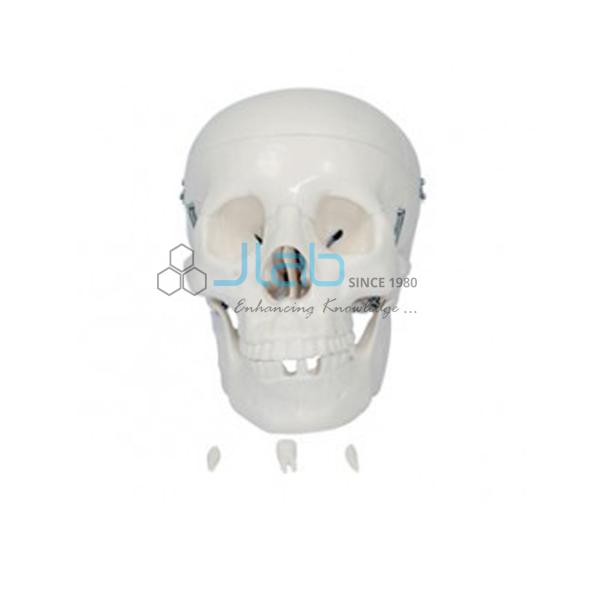 Adult Skull Life Size