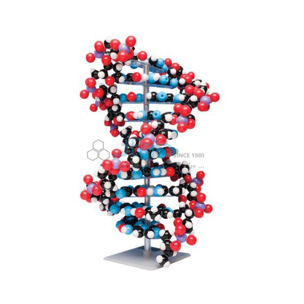 Ten layer DNA Molecular Model