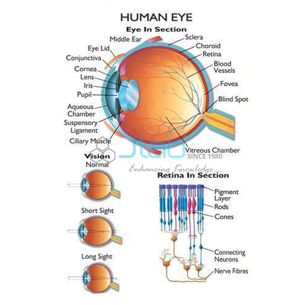 Human Eye Chart India Human Eye Chart Manufacturer Human Eye Chart