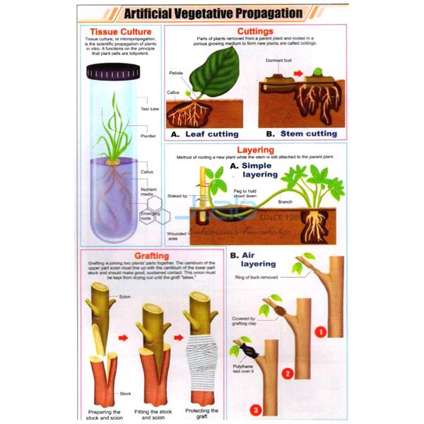 Artificial Vegetative Propagation Chart