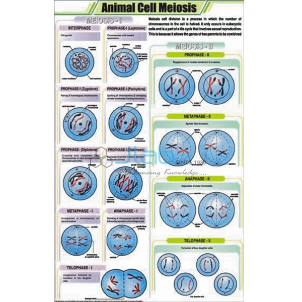 Animal Cell Meiosis Chart