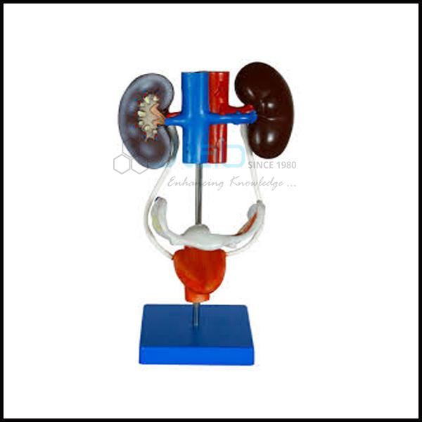 Male Urogenital System