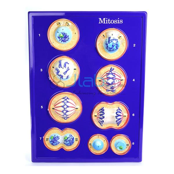 Mitosis Model
