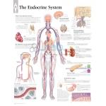 Endocrine System Chart