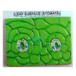 Stomata Leaf Prepared Slide