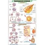 Gametogenesis in Animals Chart