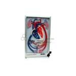 Cardiac Beat and Blood Circulation Model