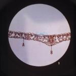 Microslide Photosynthesis