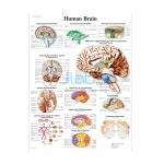 Human Brain Chart