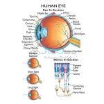 Human Eye Chart