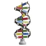 DNA Activity Model