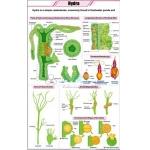 Hydra Chart