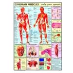 Human Muscles Chart