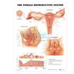Reproductive Chart (Female)